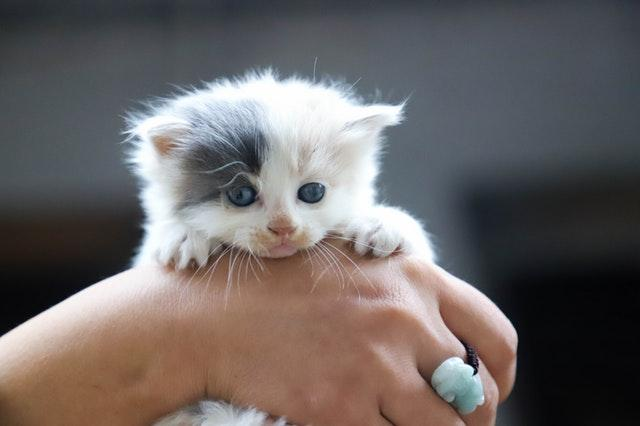 Bra att veta för kattupfödare